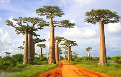 деревья баобаб