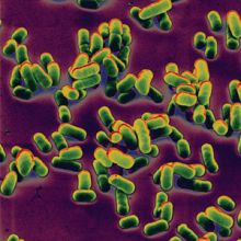 Yersinia pestis - bacillus