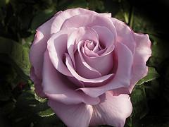 аромат роз улучшает память