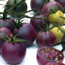 Выращены целебные фиолетовые помидоры