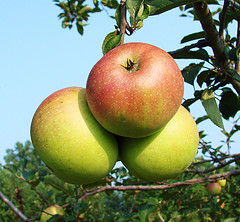 Четыре мифа о полезных свойствах яблок