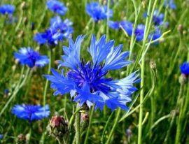 Василек синий – целебный дар природы. Применение в народной медицине