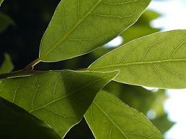 Как лавровый лист избавляет от аллергии