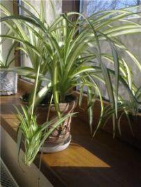 Хлорофитум очищает и увлажняет воздух в квартире!