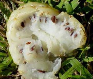 фрукт нони