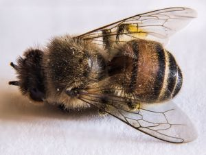 Пчелиный подмор. Лечебные свойства