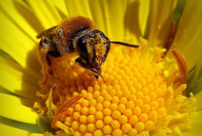 Лечение аллергии на пыльцу медом