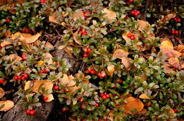Полезные свойства листьев толокнянки и противопоказания для применения: инструкция