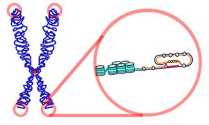 строение теломер