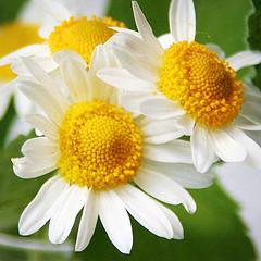 Гомеопатическое лечение первичной дисменореи
