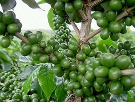 Лечебные свойства зеленого кофе