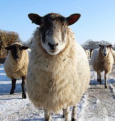 Новый-старый метод в народной медицине - лечение овцами