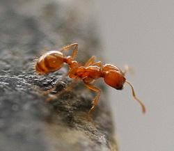 Чем опасны домашние муравьи для человека?