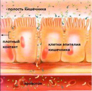 изображение эпителиальной стенки кишечника