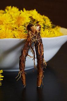 корешок и цветочки Taraxacum officinale